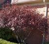 Purple Leaf Sand Cherry