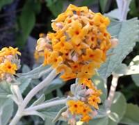 Flutterby Grande Sweet Marmalade Butterfly Bush Picture