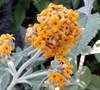 Flutterby Grande Sweet Marmalade Butterfly Bush