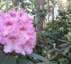 Helsinki University Rhododendron