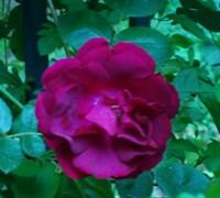 Crimson Rose Picture