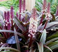Sparkling Burgundy Pineapple Lily Picture