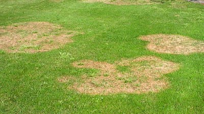 Brown Patch lawn disease
