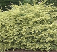 Swift Creek Ligustrum Picture