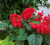 Sizzler Red Salvia