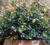 Peach Sorbet Dwarf Blueberry Picture