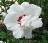 Morning Star Rose Of Sharon