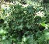 Crispata Leopard Plant