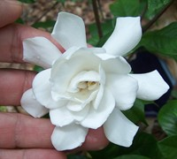 Fall In Love Hardy Gardenia Picture