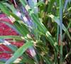 Nova Zebra Grass