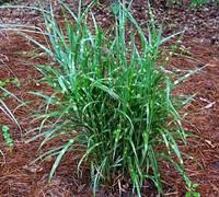 Nova Zebra Grass Picture