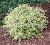 Lemons And Lime Abelia Picture