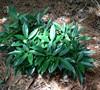 Dwarf Green Aucuba