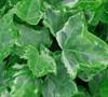 Mint Kolibri Variegated Ivy