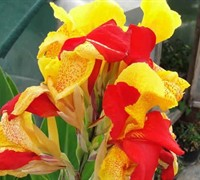 Cleopatra Canna Lily Picture