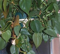 Heart Leaf Philodendron Picture