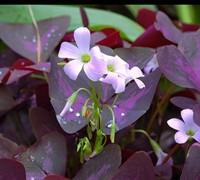 Purple Shamrock Picture