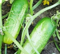 Boston Pickling Cucumber Picture