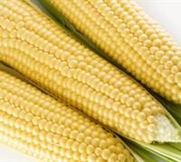 Silver Queen Corn Picture