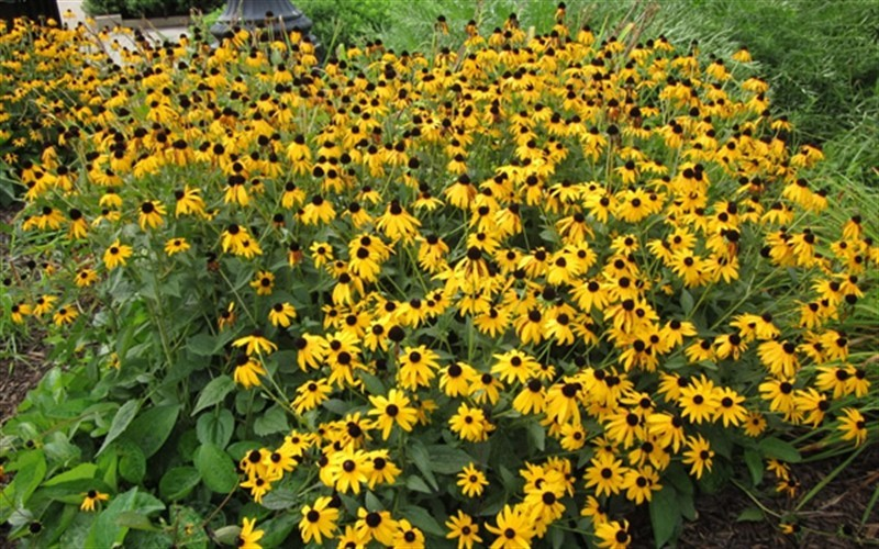Black Eyed Susan Picture