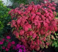 Firepower Nandina Picture