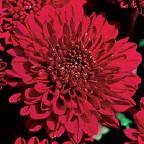 Decorative Mum Bloom