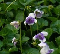 Australian Violet Picture