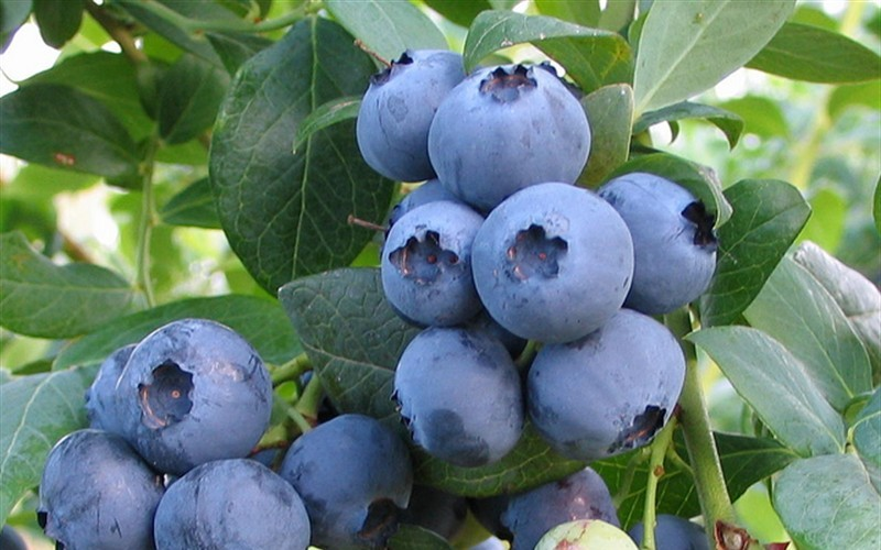 Alapaha Rabbiteye Blueberry