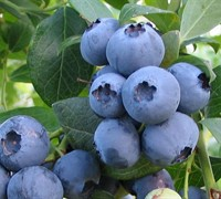 Alapaha Rabbiteye Blueberry Picture