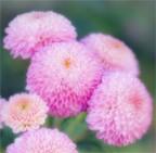 Mum Bloom Pompon