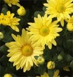 Mum Bloom Daisy Type