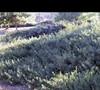 Desert Carpet Acacia