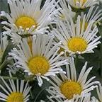 Mum Bloom Quilled