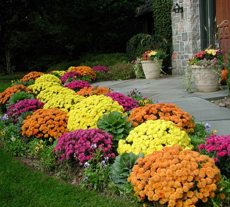 When To Buy And Plant Garden Mums