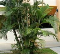 Areca Palm Picture