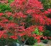 Maiku Jaku Japanese Maple