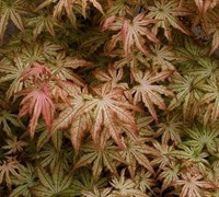 Peaches And Cream Japanese Maple Picture