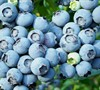 Sonja's Blueberries